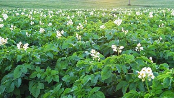 Thumbnail for Crane Shooting von einem blühenden Kartoffelfeld am Morgen, ländliche Szene