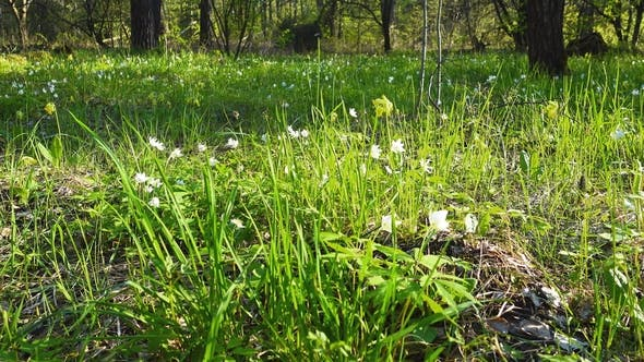 Thumbnail for White and Yellow First Flowers in Spring Forest, Snowdrops
