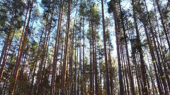 Thumbnail for High Pines in Forest at Beautiful Day