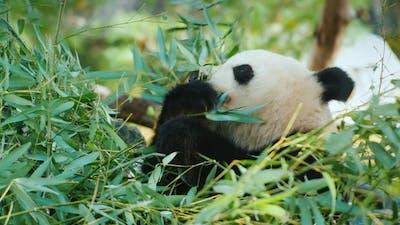 Big Panda Eats Leaves,