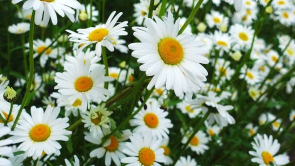 Thumbnail for Beautiful Chamomile Flowers