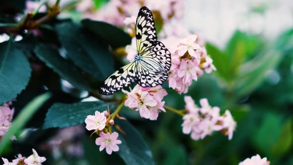 Thumbnail for View of Black and White Rice Paper Butterfly Driking Nectar From Pink Flower Seen From Above on