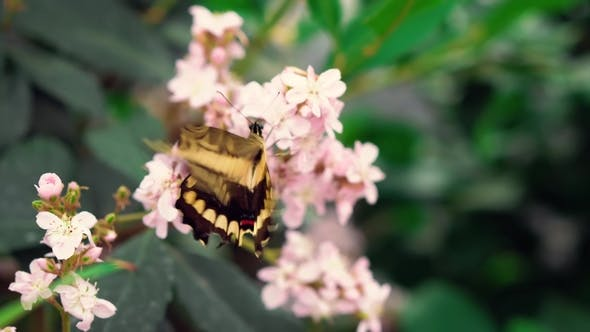 Thumbnail for Black and Yellow Giant Swallowtail (Papilio Cresphontes) Butterfly Drinks Nectar and Flaps Wings on