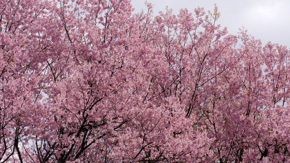 Thumbnail for Cherry Blossom Bloom In Spring Time