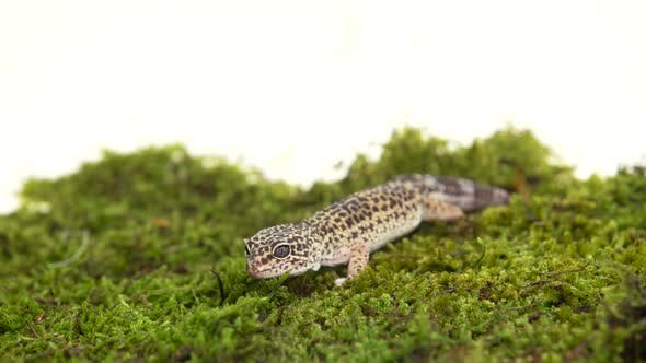 Thumbnail for Leopard Gecko Standard Form, Eublepharis Macularius on Green Moss in White Background