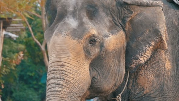 Thumbnail for Elephant Waving His Ears and Trunk Moves Thailand, Pattaya