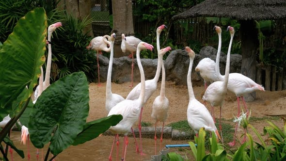 Thumbnail for Weiße oder rosa Flamingo im Khao Kheow Open Zoo