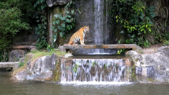 Thumbnail for The Tiger Sit on the Rock Near the Waterfall. Thailand