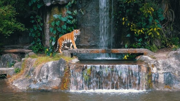 Thumbnail for The Tiger Sit on the Rock Near the Waterfall Thailand
