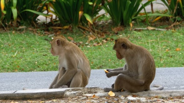 Thumbnail for Two Monkeys Sitting on the Ground Eating Food at the Khao Kheow Open Zoo. Thailand