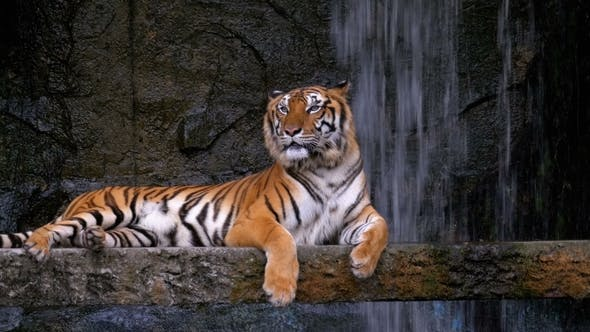 Thumbnail for The Tiger Lies on the Rock Near the Waterfall. Thailand