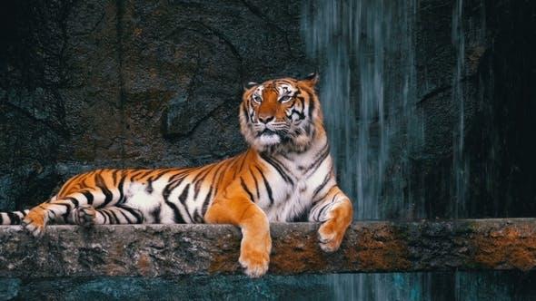 Thumbnail for Der Tiger liegt auf dem Felsen in der Nähe des Wasserfalls. Thailand