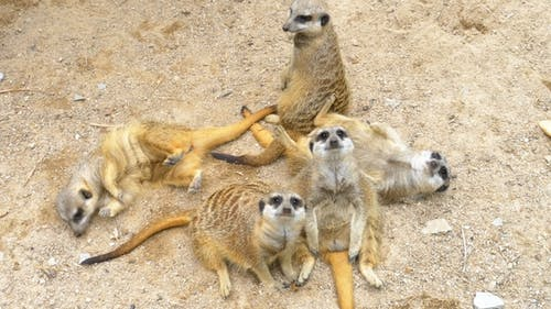Group of Playful Meerkats Play with Each Other. Thailand