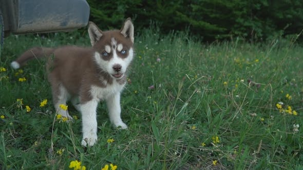 A Puppy of Husky Walks on the Nature