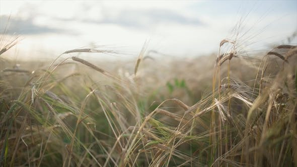 Cover Image for Spikelets of Feather Grass Against the Background of Other Spikelets of Feather Grass