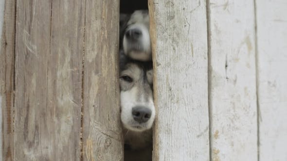Thumbnail for Two Dogs Looking Through a Wooden Fence. Video. Two Hunting Dogs Standing at the Fence in the