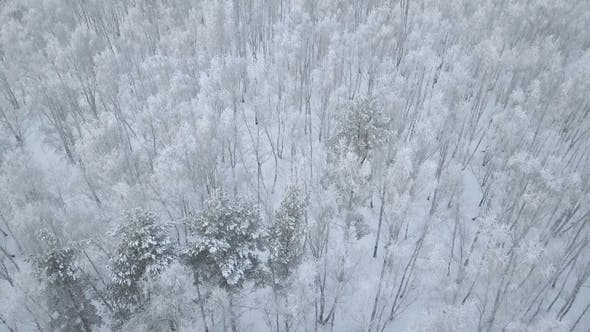 Thumbnail for Aerial Flyover Snow Covered Birch Tree