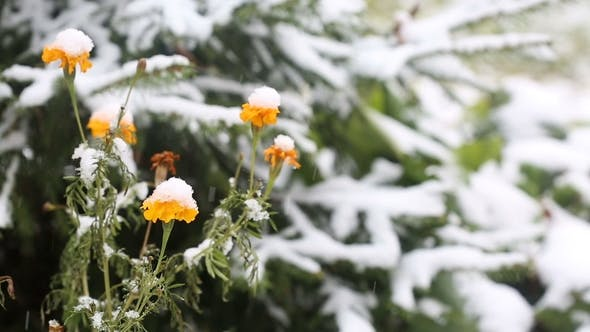 Thumbnail for Yellow Flowers Covered with First Snow