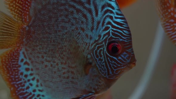Thumbnail for Blue Pompadour Fish with Red Eyes in Aquarium, Colors of the Amazon Basin