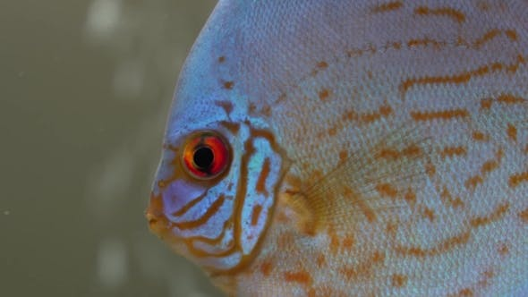 Thumbnail for of Blue Red Discus Fish in a Freshwater Aquarium on Blury Bubbles Background, Seen From Side