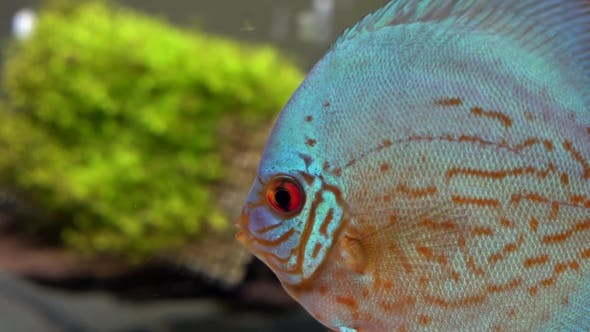 Thumbnail for Side View of Blue-red Discus Fishes in a Freshwater Aquarium on Blury Green Seaweed and Bubbles