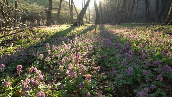 Thumbnail for Glade of Beautiful Spring Purple Flowers in the Forest
