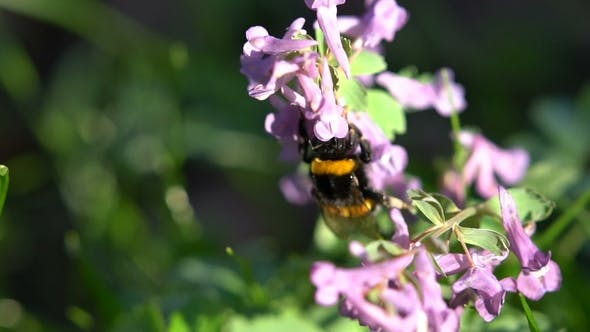 Cover Image for Bumblebe on a Spring Purple Flowers Under the Bright Sun
