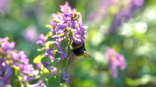 Thumbnail for Bumblebe on a Spring Purple Flowers Under the Bright Sun