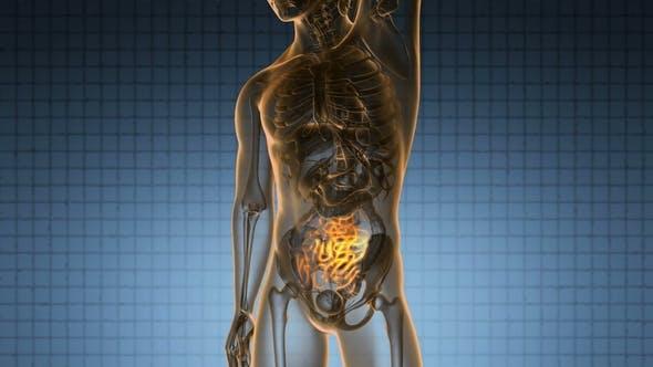 Thumbnail for Anatomy Scan of Human Small Intestine