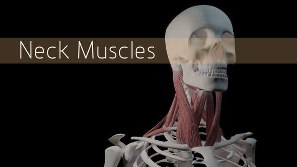 Thumbnail for Neck Muscles