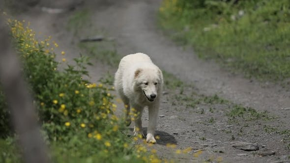 Thumbnail for White Dog Walking on the Road Near Flowers in Mountains