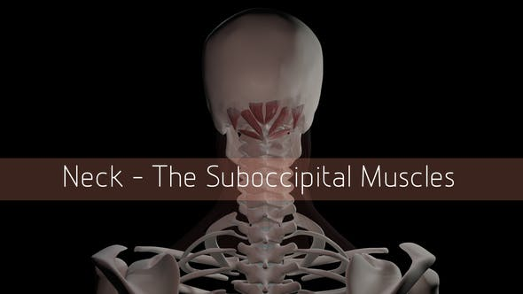 Thumbnail for Neck - The Suboccipital Muscles