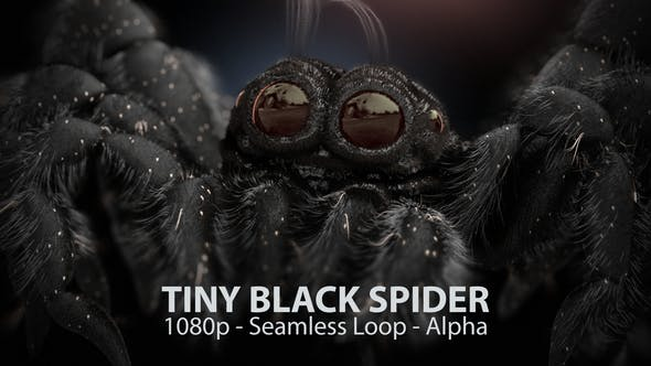 Thumbnail for Tiny Black Spider