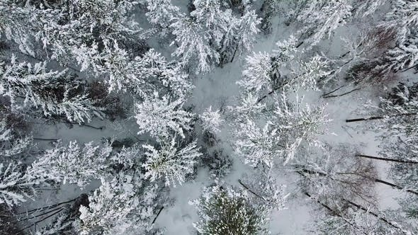 Flying up Directly above Large Forest in the Cold Winter