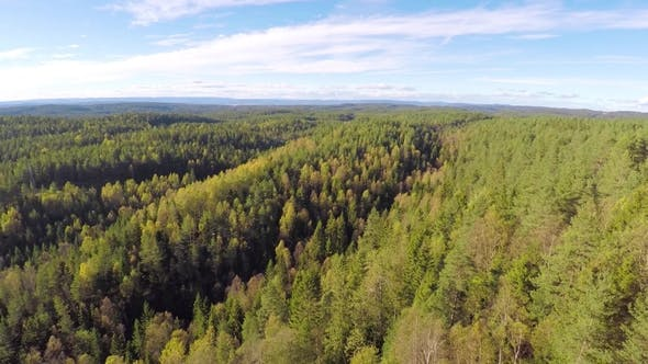 Camera Flying above Large Spruce Tree Forest