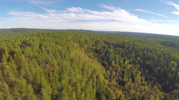 Flying High above Large Spruce Tree Forest
