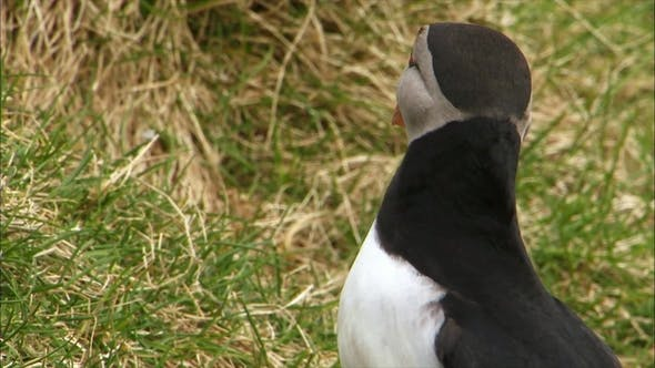 Thumbnail for Atlantic Puffin Looking