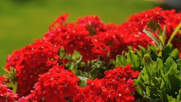 Thumbnail for Vivid kleine rote blumen schwanken in wind in ein garten
