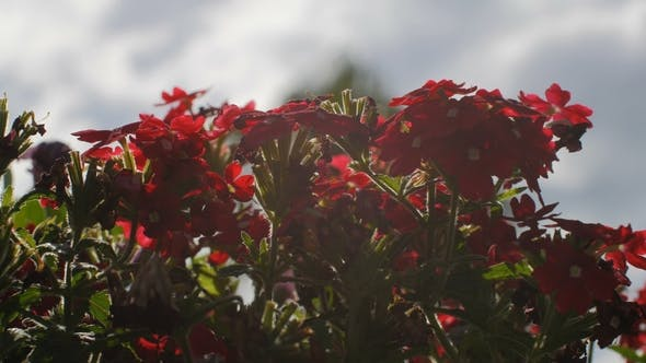 Thumbnail for Shrub with Small Red Flowers Swaying in Wind in a Garden,  Shot Against of Sun