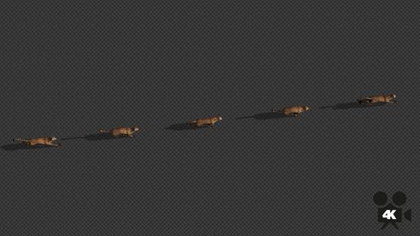 Thumbnail for 4K Cheetah Run - With Long Shadow