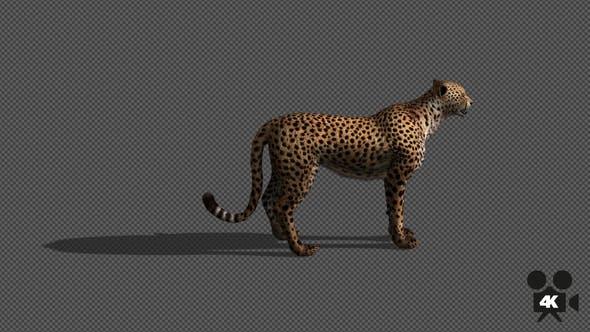 Thumbnail for 4K Cheetah Looking Around