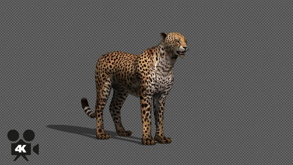 Thumbnail for 4K Cheetah Idle With Shadow