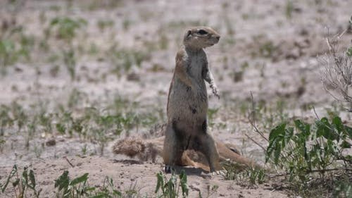Two African ground squirrel