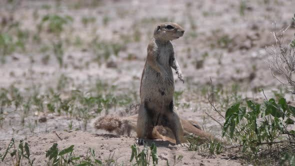 Thumbnail for Two African ground squirrel