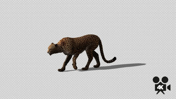 Thumbnail for 4K Cheetah Walk Side
