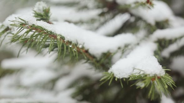 Thumbnail for A Snow-covered Fir Tree Branch, Icy Snow Falls in the Forest