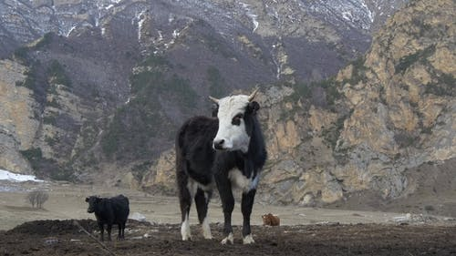 Black Cow with a White Snout in the Mountains