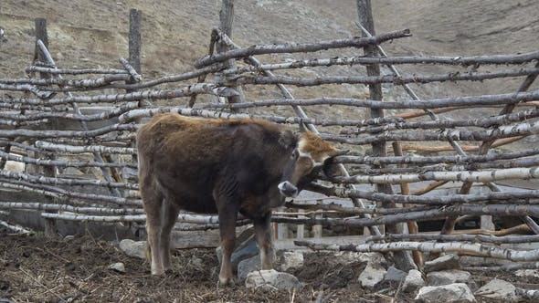 Thumbnail for Cow Scratching on the Fence
