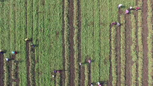 People Harvesting in the Green Field