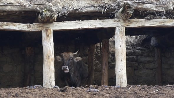 Thumbnail for Single-horned Cow in an Old Barn